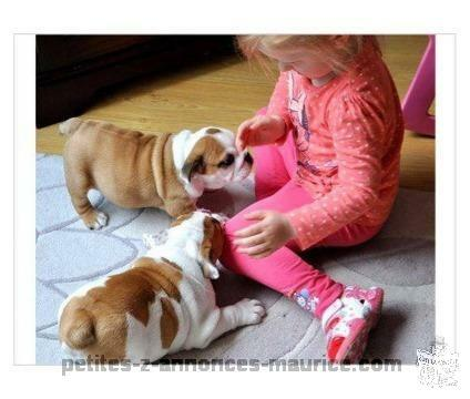English bulldog Puppies, Pedigree
