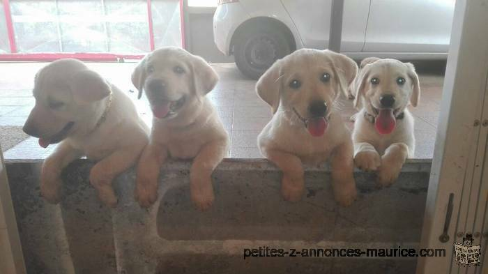 LABRADOR Puppies for sale. PURE BRED. Rs 14,000 (597-257-96; whatsapp/txt/call)