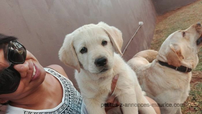 Labrador Puppies, Pure bred