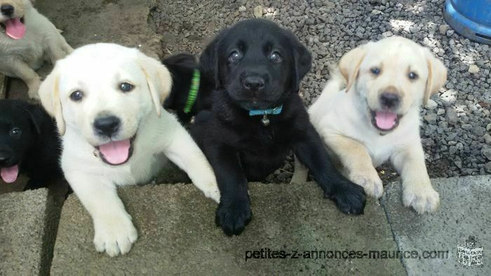 Labradore Puppies for sale