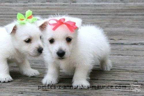 Male and Female West Highland White Terrier Puppies.