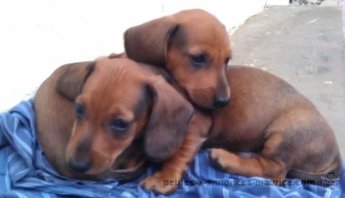 Teckel Puppy for sale