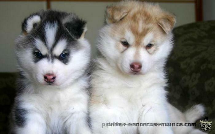 seeking for siberian huskies in mauritius