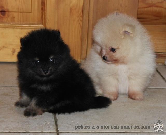 Contre bon soin Deux beaux chiots Spitz