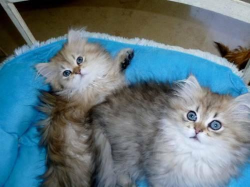Don de deux magnifiques chatons persan
