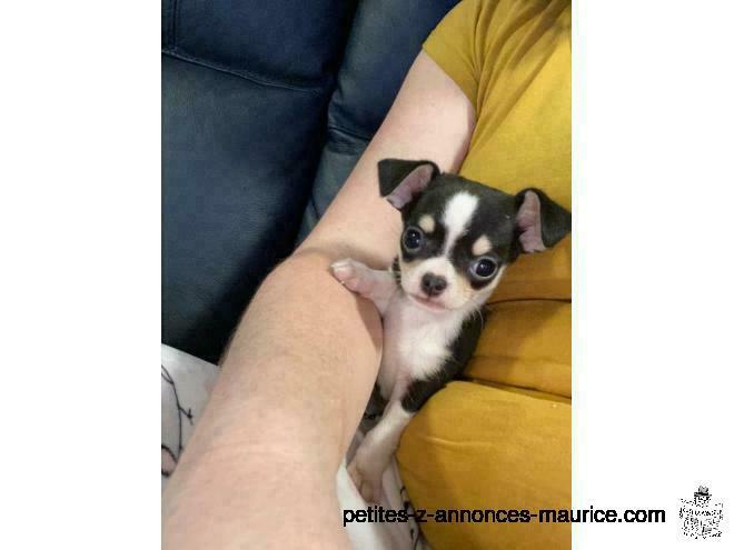 chiot chihuahua a donne pour adoption