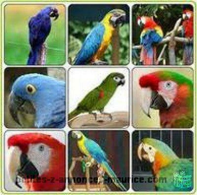 macaws, cockatoos, African greys And Fertile Eggs For Sale